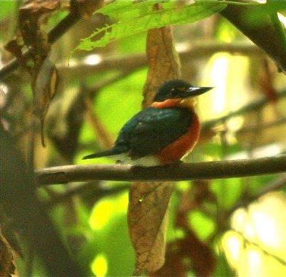 American pygmy flycatcher, Muyuna Lodge