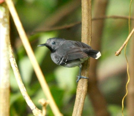 Band-tailed antbird, Muyuna Lodge