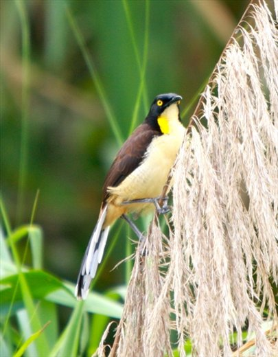 Black-capped donacobius, Muyuna Lodge