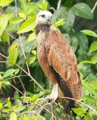 Black collared hawk, Muyuna Lodge