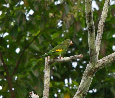 Canary-winged parakeet, Muyuna Lodge
