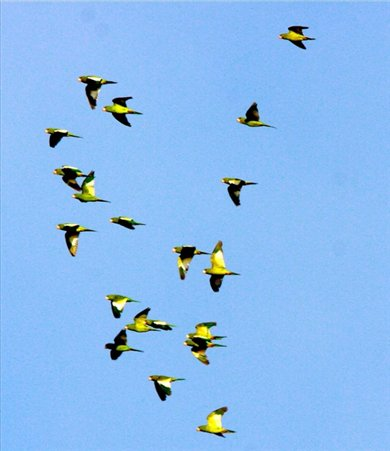 Canary-winged parakeets, Muyuna Lodge