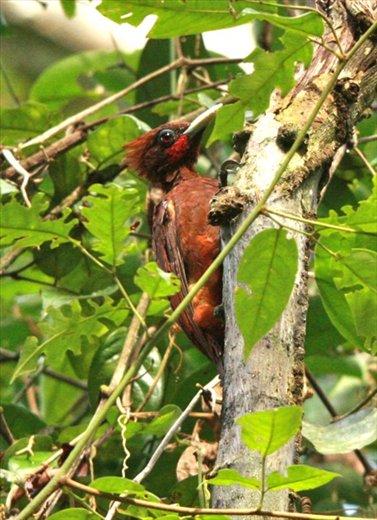 Chestnut woodpecker, Muyuna Lodge