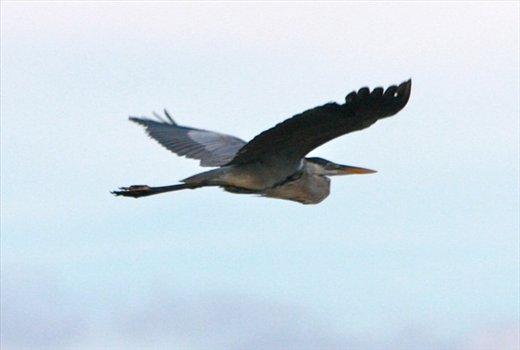 Cocqui heron, Muyuna Lodge