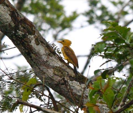 Cream-colored woodpecker, Muyuna Lodge