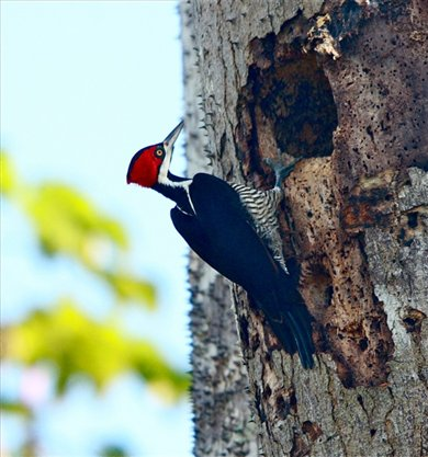 Crimson-crested woodpecker, Muyuna Lodge