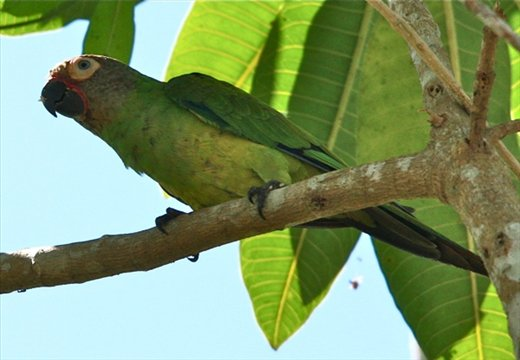 Dusky-headed parakeet, Muyuna Lodge