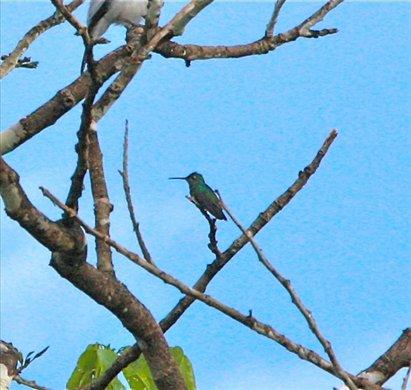 Glittering-throated emerald, Muyuna Lodge