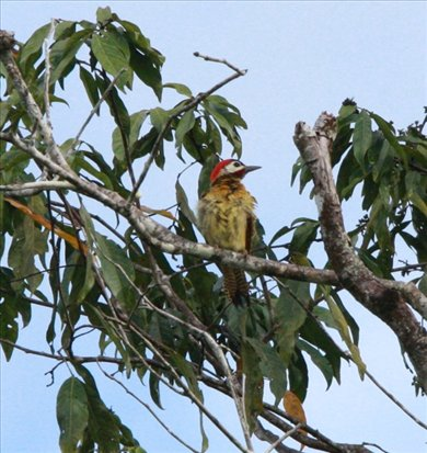 Golden-olive woodpecker, Muyuna Lodge