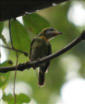 Lemon-throated barbet, Muyuna Lodge: by fieldnotes, Views[244]