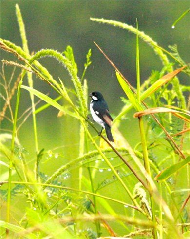 Lined seedeater, Muyuna Lodge