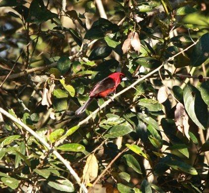 Masked crimson tanager, Muyuna Lodge