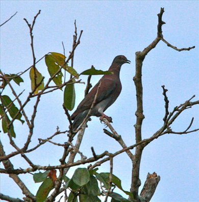 Pale-vented pigeon, Muyuna Lodge