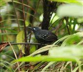 Plumbous antbird, Muyuna Lodge: by fieldnotes, Views[239]