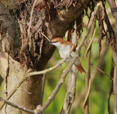 Red and white spinetail, Muyuna Lodge