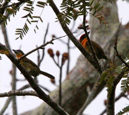Scarlet-crowned barbet, Muyuna Lodge