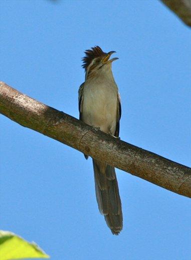 Striped cuckoo, Muyuna Lodge