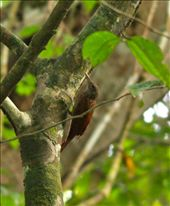 Striped woodcreeper, Muyuna Lodge: by fieldnotes, Views[189]