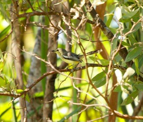 Tropical gnatcatcher, Muyuna Lodge