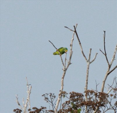 Yellow-crowned parrot, Muyuna Lodge