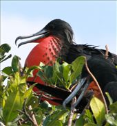 Magnificent frigate bird, Tumbes: by fieldnotes, Views[188]