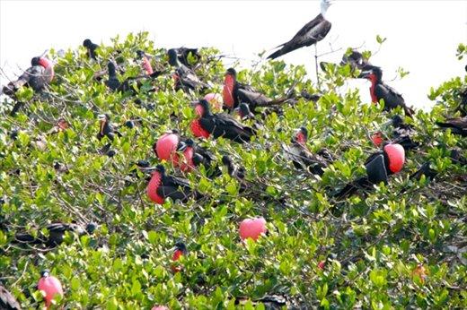 Magnificent frigate birds, Puerto Pissaro near Tumbes