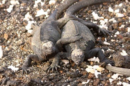 Marine iguana buddies- Galapagos Islands