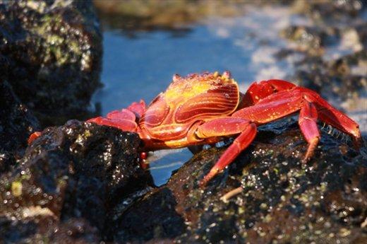 Sally lightfoot crab- Galapagos Islands