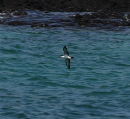 Audobon shearwater - Galapagos Islands