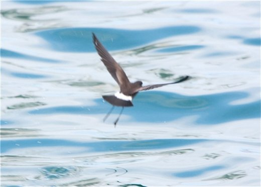 Band-tailed storm petrel - Galapagos Islands