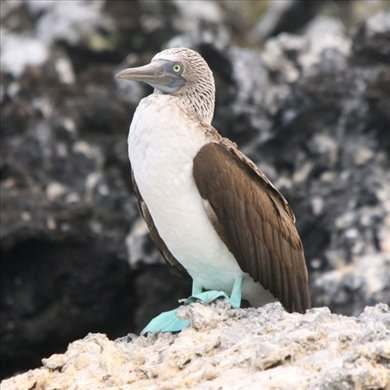 Blue-footed booby - Galapagos Islands