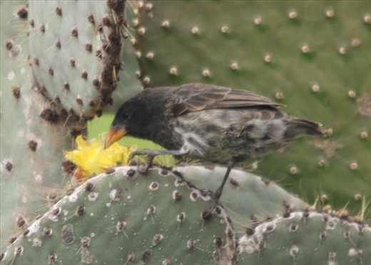 Cactus finch - Galapagos Islands