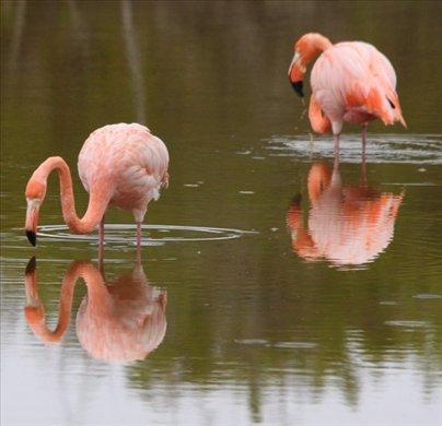 Flamingos, Isabel - Galapagos Islands