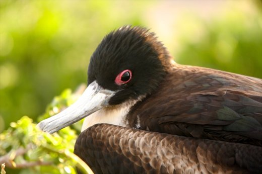 Great frigate bird (F) - Galapagos Islands