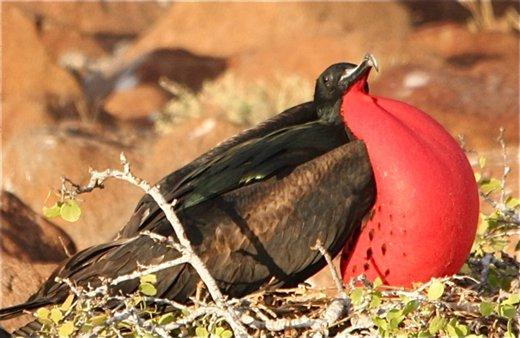 Great frigate bird (M) - Galapagos Islands