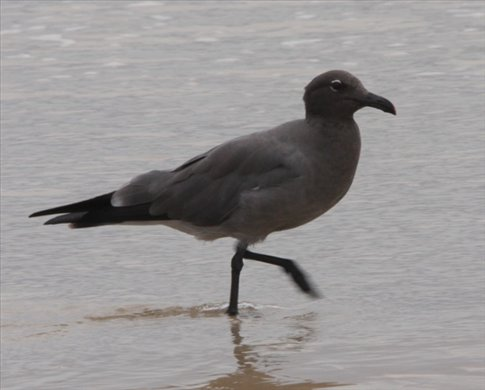 Lava gull, Isabela - Galapagos Islands