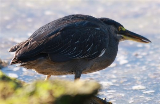 Lava heron - Galapagos Islands