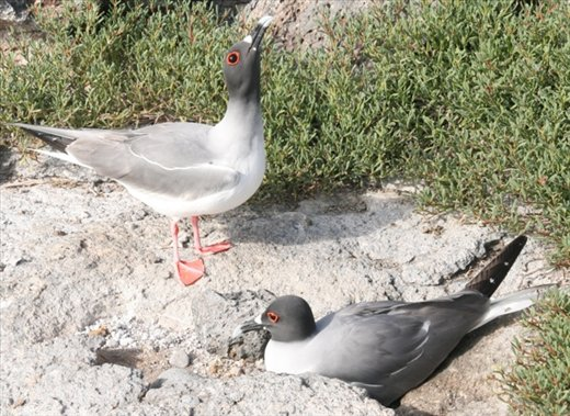 Mating dance of the swallow-tailed gulls - Galapagos Islands