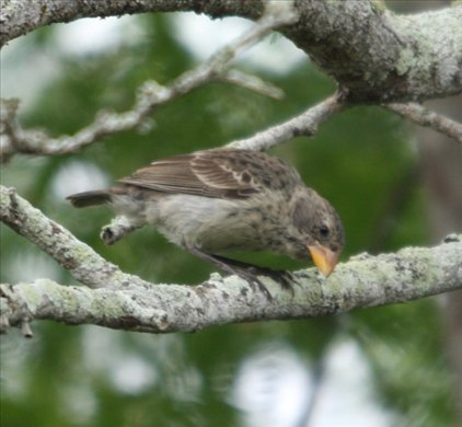Medium ground finch, Isabela - Galapagos Islands
