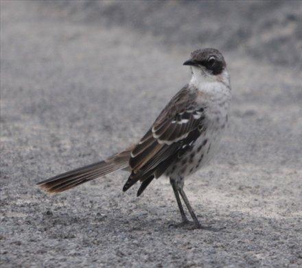 Galapagos mockingbird, Isabela - Galapagos Islands