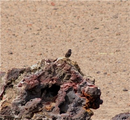 Sharp-beaked ground finch - Galapagos Islands