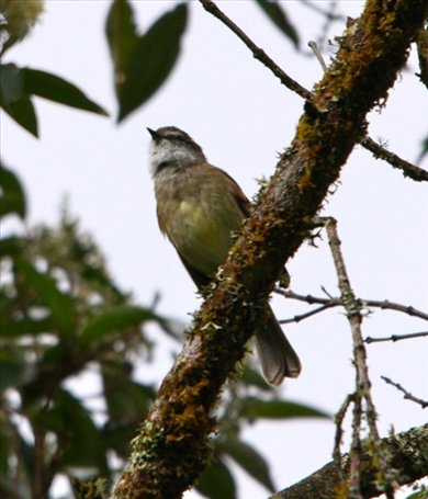 White-throated tyrannulet, near Cuenca