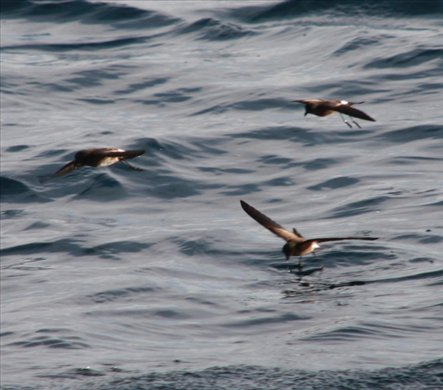 White-vented storm petrel - Galapagos Islands