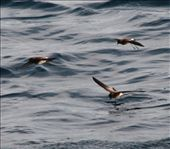 White-vented storm petrel - Galapagos Islands: by fieldnotes, Views[428]