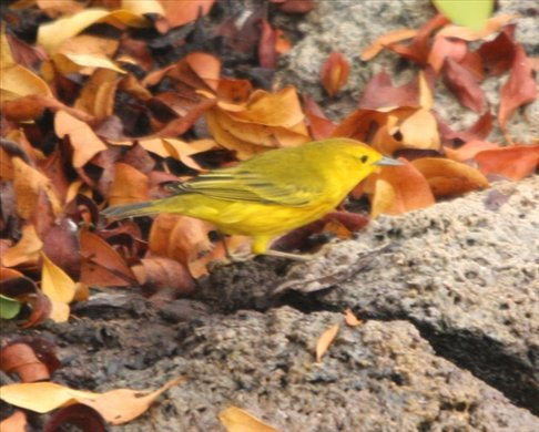 Yellow warbler - Galapagos Islands (they are everywhere!)