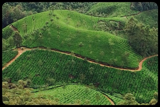 Tea plantation. They only pick the 3-4 leaves at the top of the bush every 15 days. Green, black and white tea come from the same bush.