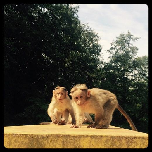 Près de Munnar. Super mignons les jeunes singes et pas peureux du tout.