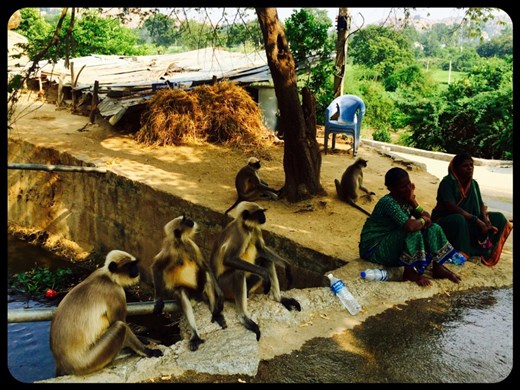 En bas des 500 marches menant au temple du dieu singe...bonne cohabitation! ;-)
