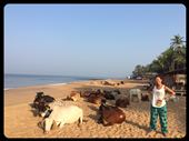 Did you know that cows love going to the beach? Yep! Not only do they obstruct traffic but they get up early and steal all the good spots on the beach. :-(: by finally, Views[204]
