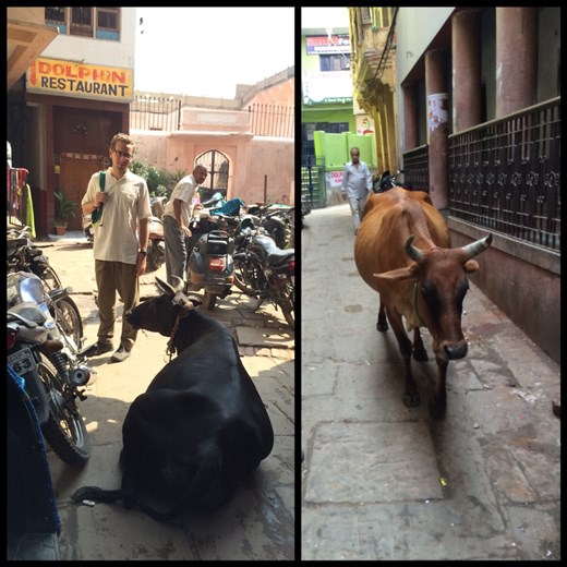 Believe it or not, motorcycles and fat cows like these manage to pass each other in the narrow alleys of Varanasi.